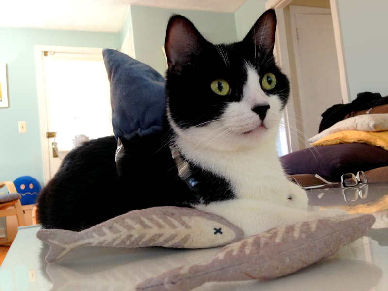 Our cat Quint in his shark costume, Photo by Miss So